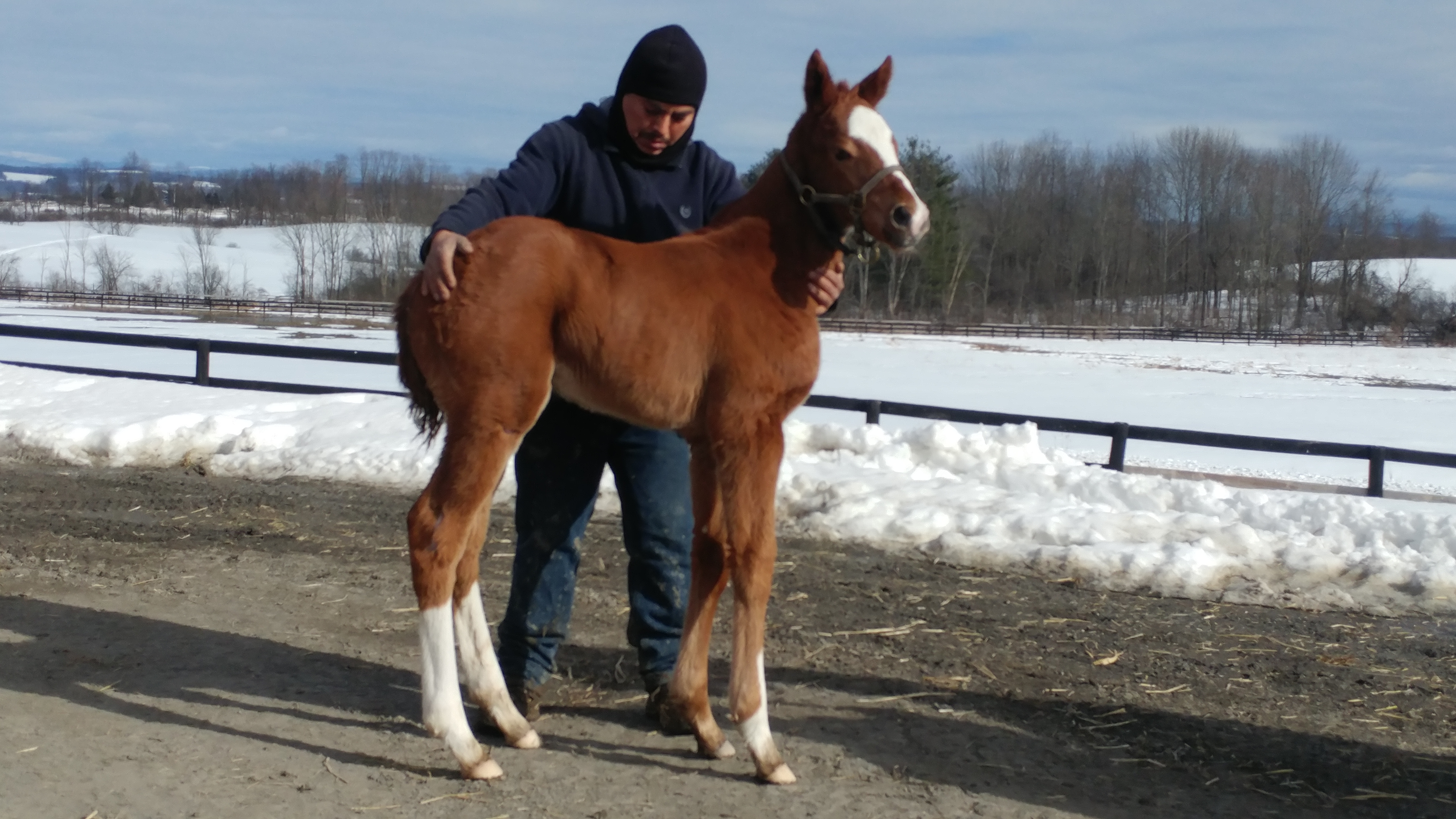 see our california chrome filly west point thoroughbredswest point